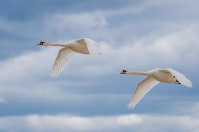 Two Mute Swans In Flight (Wings Down)