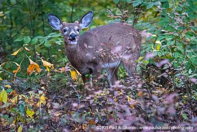Deer in the Woods 1