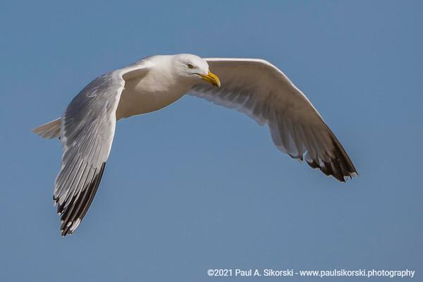 Herring Gull In Flight Portrait