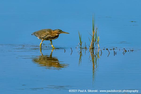 Green Heron Fishing