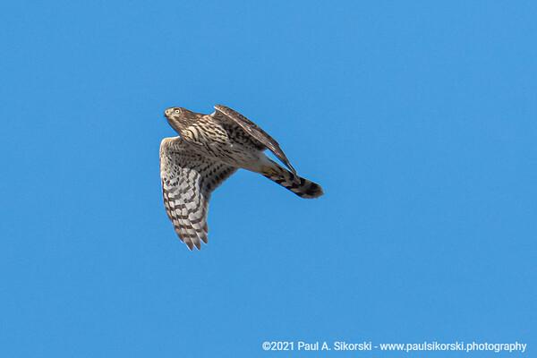Cooper's Hawk Juvenile In Flight