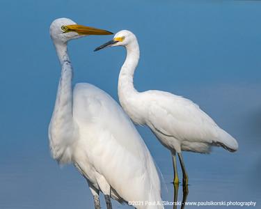 Egrets Wading Portrait