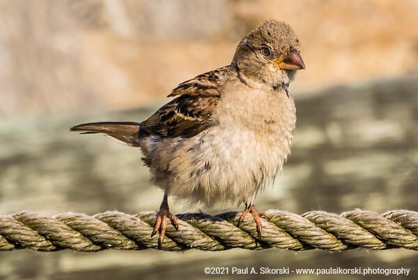 House Sparrow  on a Rope