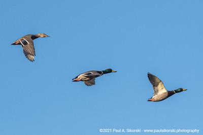 Three Mallard Ducks In Flight