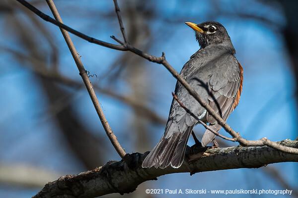 Robin Perching on Branch