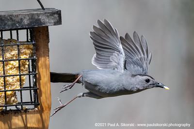 Gray Catbird Flying off Feeder