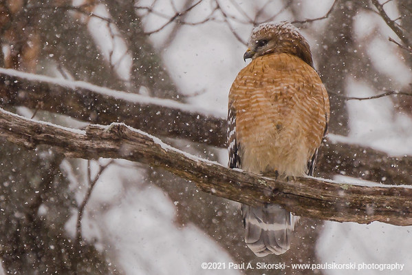 Red-shouldered Hawk in Snowstorm