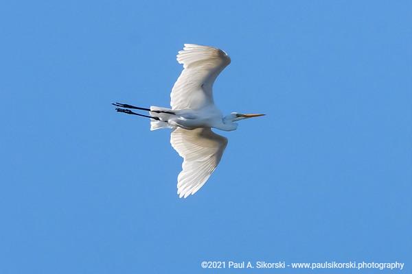 A Great Egret 180