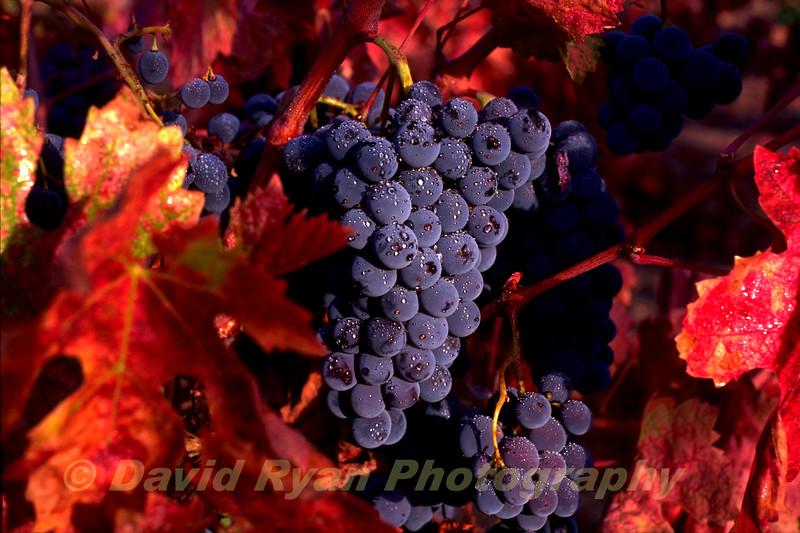 USA, California, Napa Valley, Zinfandel Grapes