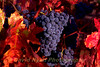 USA, California, Napa Valley, Zinfandel Grapes