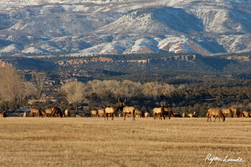 Elk on Coal Mine Reclamation.  Nucla, Colorado