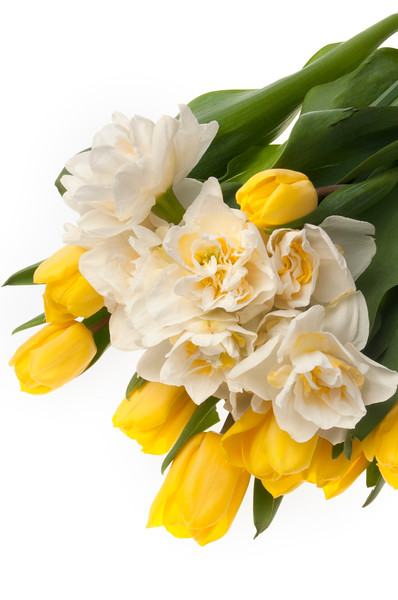 Yellow tulips and daffodils isolated on white background
