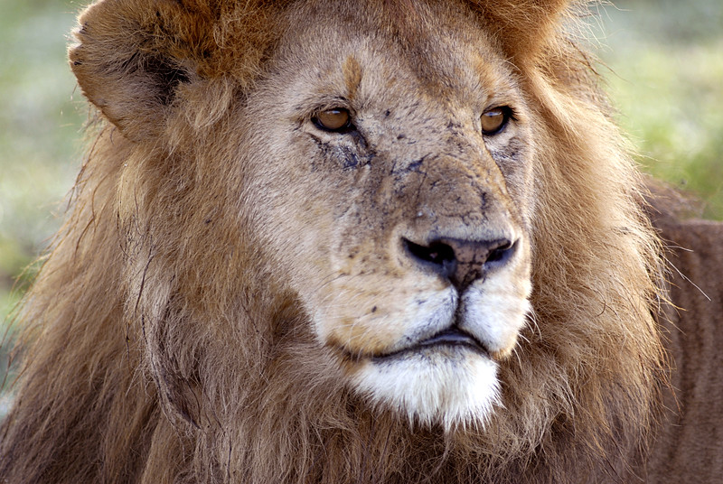 Old Male Lion, Serengeti, Tanzania, Africa