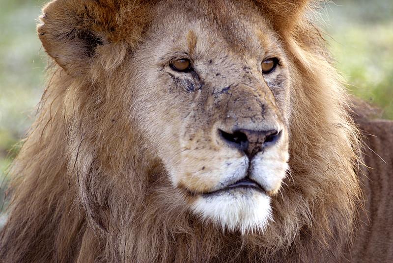 Old Male Lion, Serengeti, Tanzania, Africa