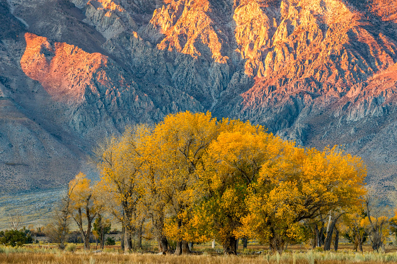 Cottonwoods in Fall, Round Valley