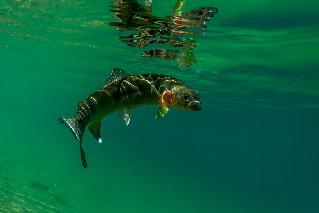 Golden trout underwater