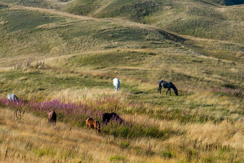 Horse stock grazing in meadow in Republic of Georgia