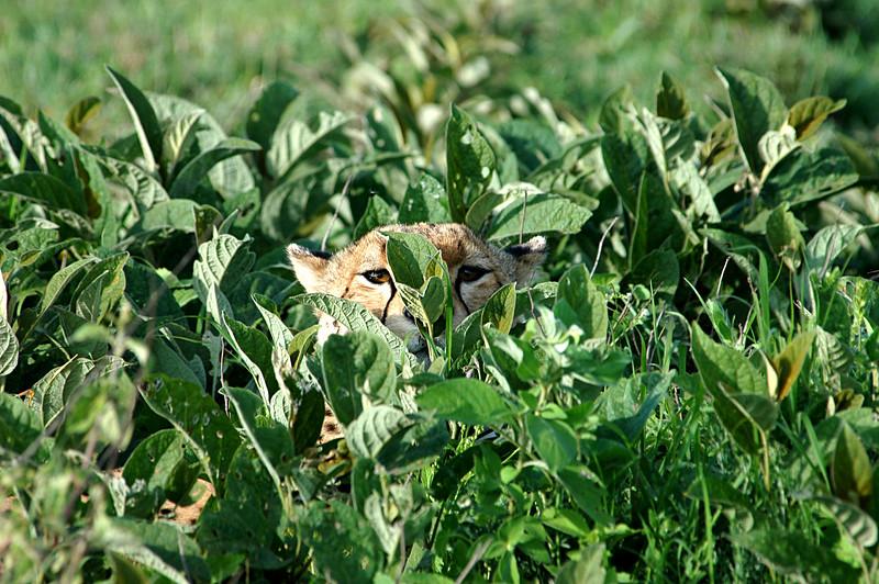 Cheetah in the grass, Serengeti, Africa