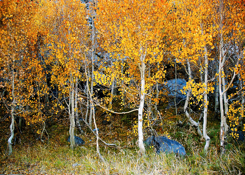 Aspen Grove in Fall Color, Bishop Creek, CA