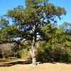 Giant Tree #2, Neighborhood Park  - Austin, Texas