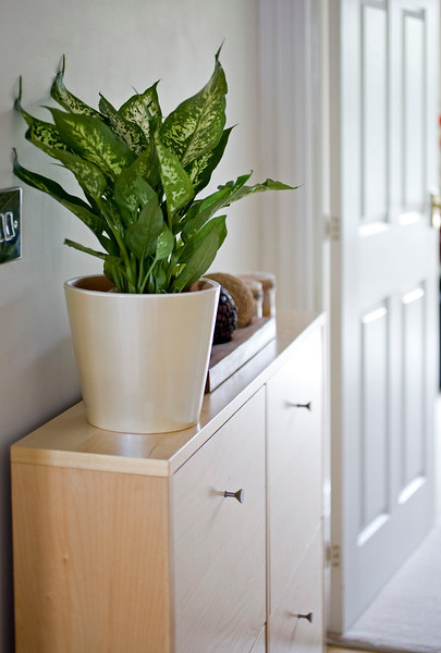 DIEFFENBACHIA, DUMB CANE, MOTHER-IN-LAW'S TONGUE