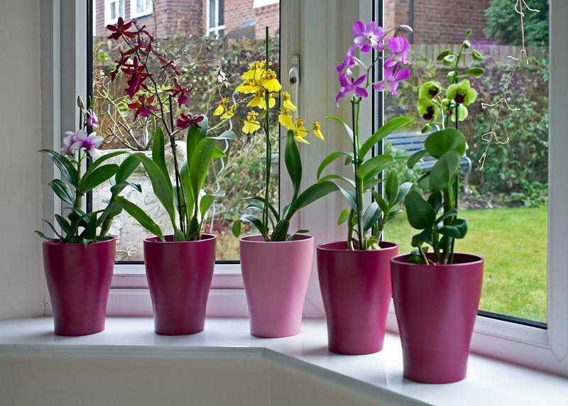 Dendrobiums and Oncidium