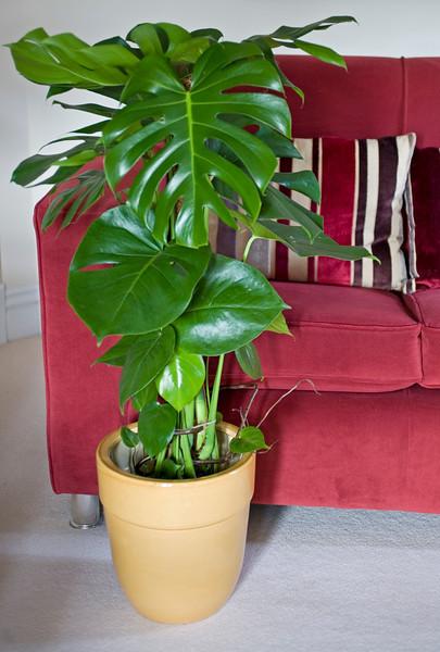 MONSTERA, SWISS CHEESE PLANT