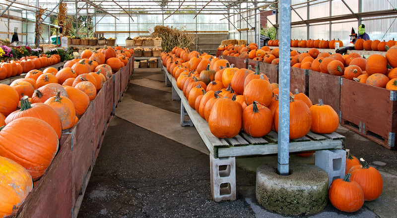 Rows of pumpkins in bins at a farmers market