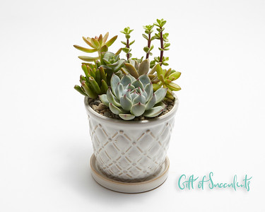 "Gift of Succulents ""Classic"""