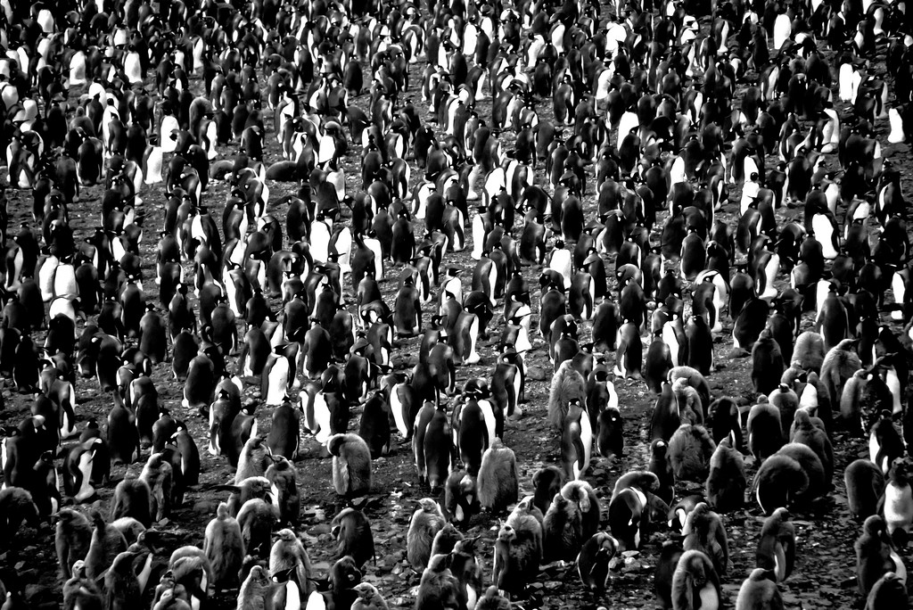 King Penguin Colony Black & White, South Georgia Island