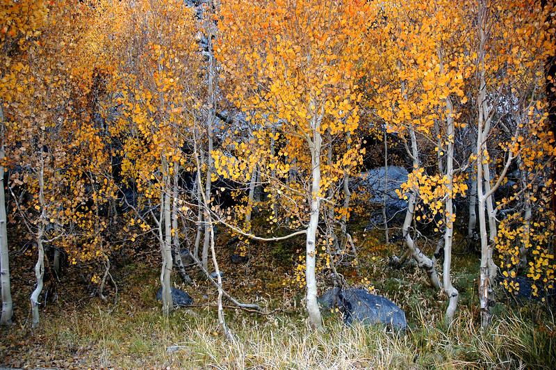 Bishop Creek Aspens in Fall, Eastern Sierra, CA