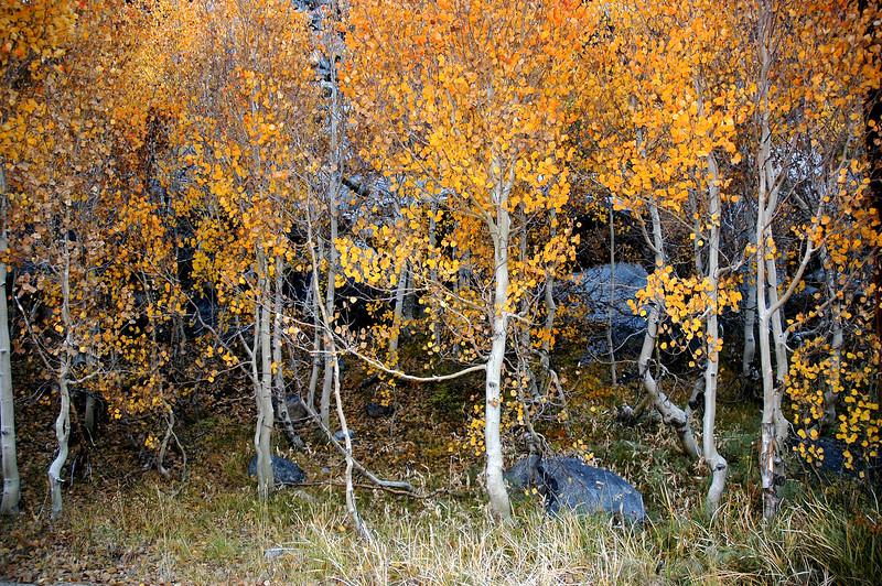 Bishop Creek Aspens in Fall, Eastern Sierra, CA
