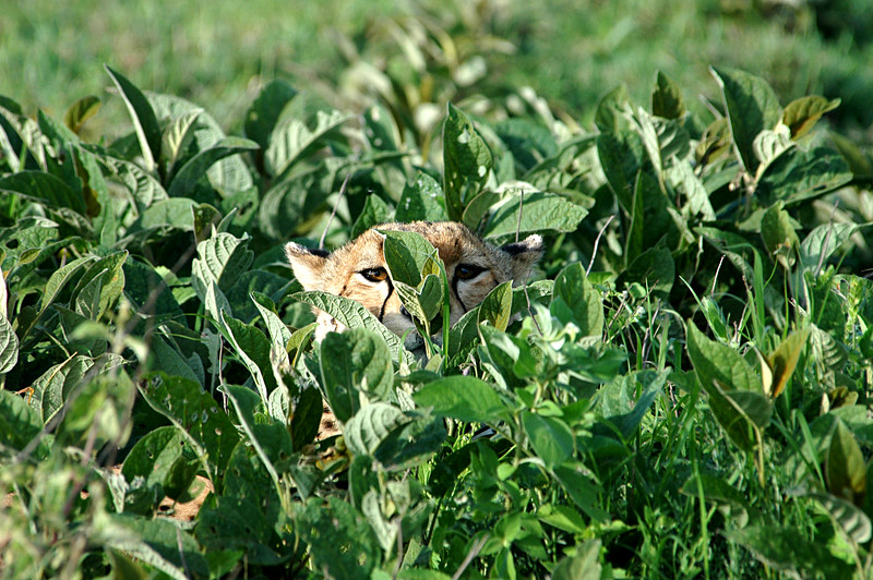 Cheetah in the grass, Serengeti, Africa