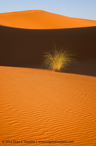 "Photo Credits: Dean J. Tatooles; Southern Cross Galleries  | This desert bush caught our eye while we trekked through the high dunes of the Sahara at sunset in November. I love the way the bush stands out against the dark shadows. Nice sweeping ""s-curves"" are always a bonus in any composition."