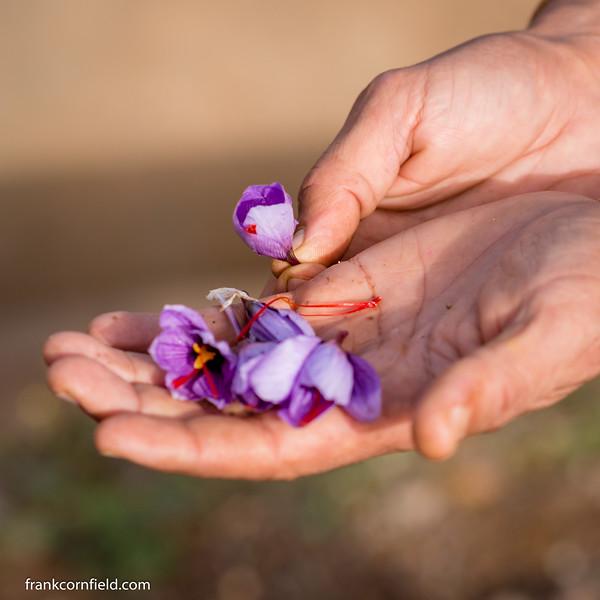 Crocus flowers for saffron.