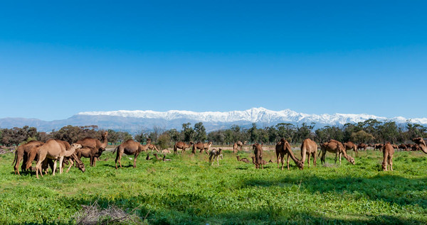 Camels grazing