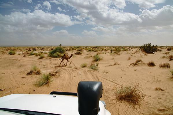 Stray Camel