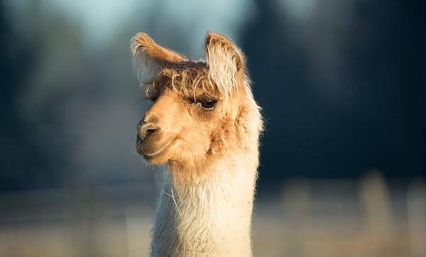 Rocky the Llama