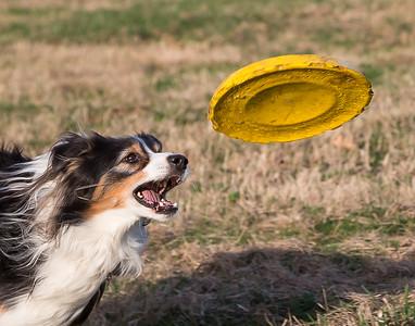 Star the Australian Shepherd goes for her Frisbee.