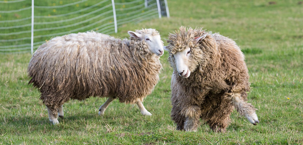 Woolk sheep getting frisky on the farm
