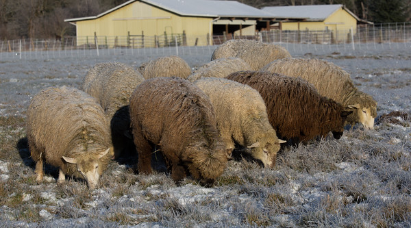 Flock of hungry sheep eating grass on a snowy field.