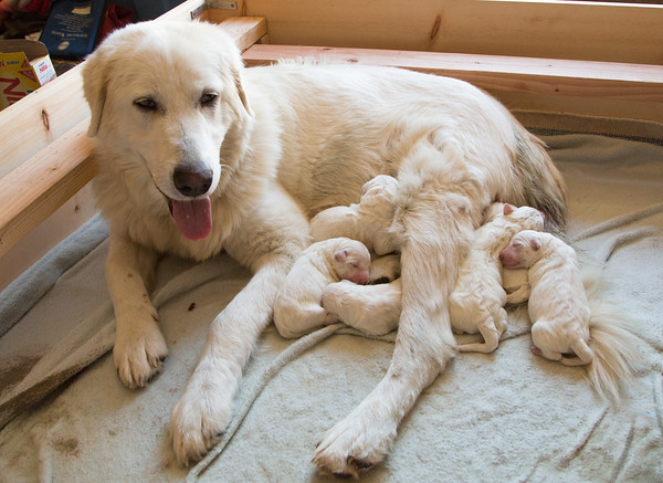 Ruthie the Maremma Sheepdog and her puppies with eyes still shut.