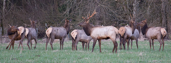 Herd of Elk in the hayfield.