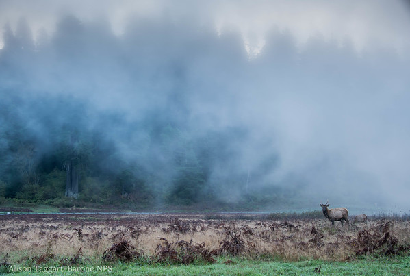 Elk, fog and sunrise at Redwood National and State Park