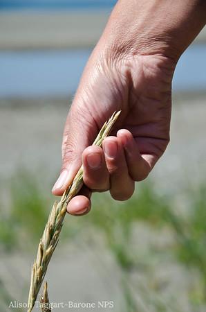 Muir Beach grass