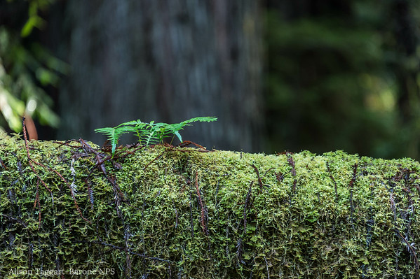 Redwood National and State Park, new growth