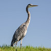 Heron, Crissy Field