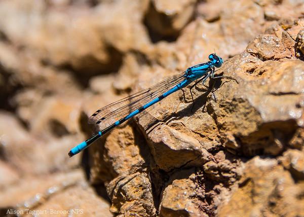 Dragonfly, Pinnacles National Park