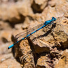 Dragonfly, Pinnacles National Park