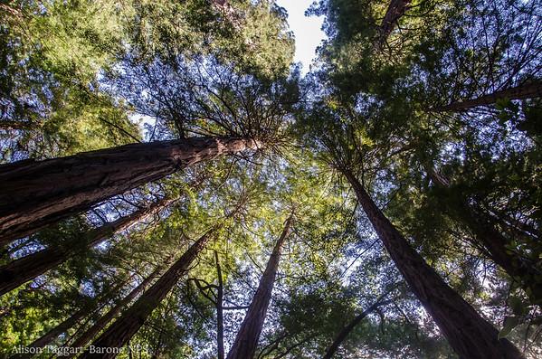 Muir woods canopy